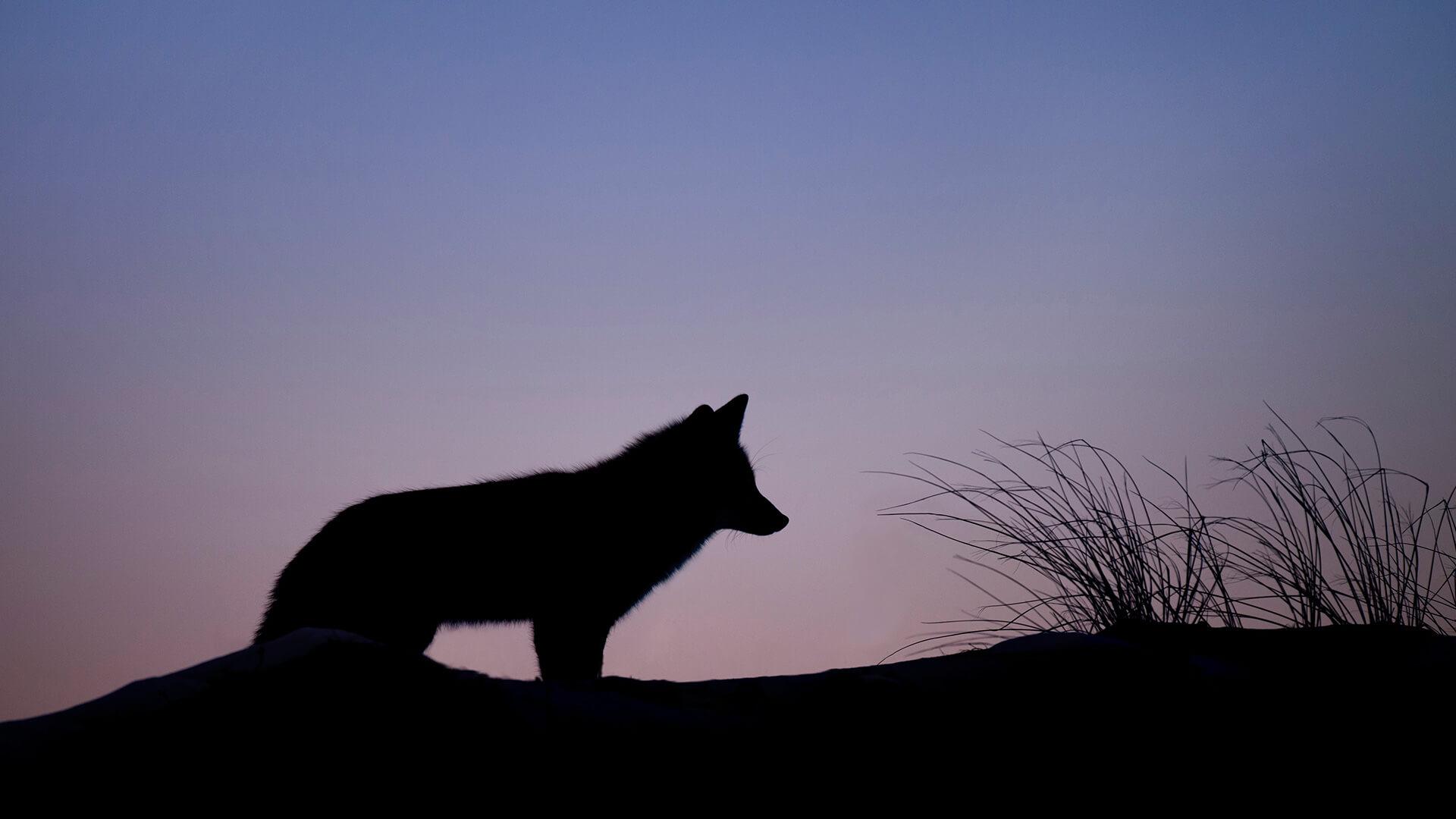 Blut geleckt wie ein Wolf