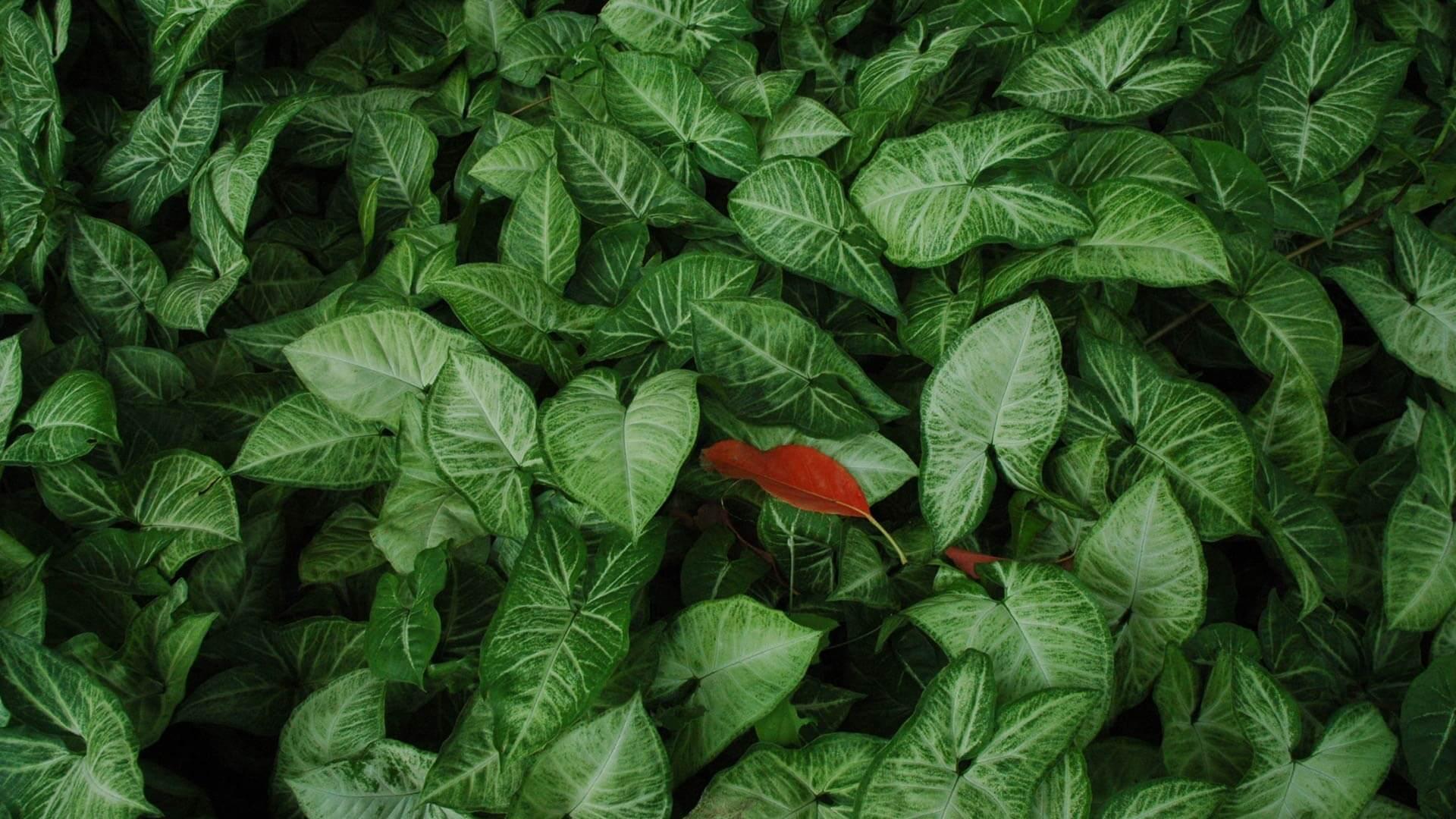 Individuum im Mainstream: Rotes Blatt zwischen vielen grünen Blättern